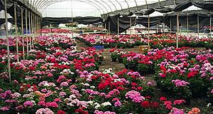 flores-invernadero